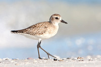 Black-bellied Plover, winter plumage