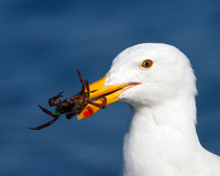 Western Gull, with crab