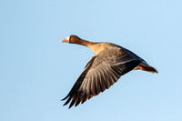 Greater White-fronted Goose, in flight