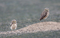 Burrowing Owl, parent with chick