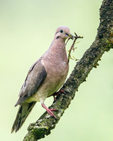Eared Dove, with nest material