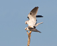 White-tailed Kites, mating