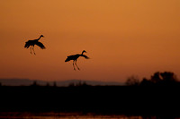 Silhouette of Sandhill Cranes coming in for landing at sunset