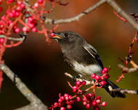 Black Phoebe, feeding on berries
