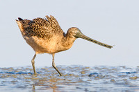 Marbled Godwit with mud-covered bill