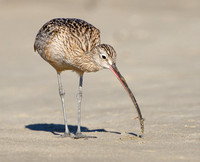 Long-billed Curlew, with prey