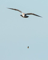California Gull, dropping mussel to crack it open