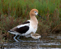 American Avocet, parent and chick
