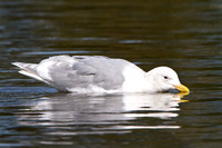 Glaucous-winged Gull, drinking
