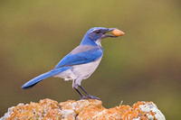California Scrub-Jay, collecting acorn for winter stash