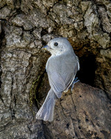 Oak Titmouse, at nest hole