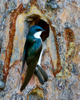 Tree Swallow, at nest