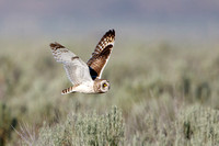 Short-eared Owl, hunting