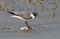 Laughing Gull, atop fish