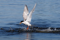 Forster's Tern, emerging from water with fish