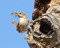 House Wren, with spider at entrance to nest