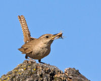 House Wren, with grasshopper for chicks