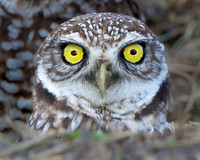 Close-up photo Burrowing Owl's head, eyes wide open