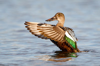 Northern Shoveler, wing flap