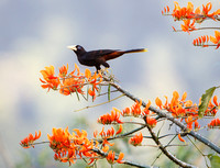 Crested Oropendola, atop Immortelle Tree