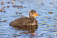 American Coot, chick