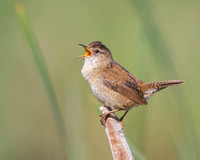 Marsh Wren singing atop cattail