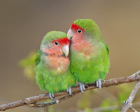 Rosy-faced Lovebirds preening