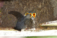 American Dipper, chicks being fed by parent