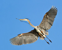 Great Blue Heron, with nest material