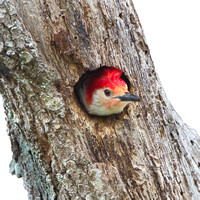 Red-bellied Woodpecker