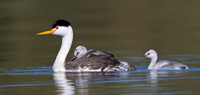 Clark's Grebe with chick riding atop parent