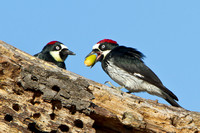 Acorn Woodpeckers, male and female, at granary tree with acorn in bill/beak.