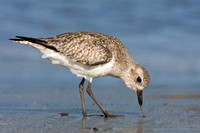 Black-bellied Plover catching/feeding on worm