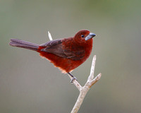 Silver-beaked Tanager, female