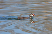 Pied-billed Grebe, chick