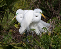 Great Egrets, mating pair
