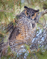 Long-eared, owl