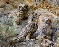 Great-horned Owl, parent with 2 chicks