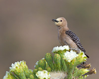 Gila Woodpecker atop Saguaro cactus amid flowers, covered in pollen