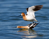 American Avocets, mating