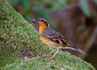 Varied Thrush, female with acorn