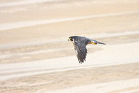Peregrine Falcon, in sand dunes
