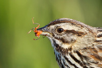 Song Sparrow, with insect