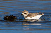 Snowy Plover, bathing