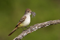 Ash-throated Flycatcher, with nest material