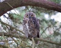 Great Horned Owl, juvenile