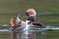 Male Hooded Merganser in transtitional plumage; molting from juvenile to adult
