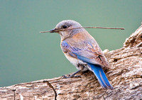 Western Bluebird, female with nesting material