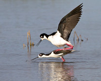 Black-necked Stilts, mating