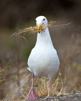 Western Gull, collecting nest material